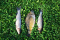 Freshly caught fishes three lying on a green grass Royalty Free Stock Photo
