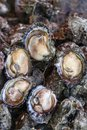 Freshly caught oysters at fishing port Royalty Free Stock Photos