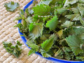 Freshly cut nettles in a bowl ready for cooking Stock Images