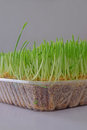 Freshly cut wheatgrass with focus on the first row of grass Royalty Free Stock Photo