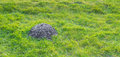 Freshly digged molehill in grass closeup of a heap of earth a green lawn recently raised by a mole Stock Photos