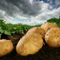Freshly dug potatoes on a field Royalty Free Stock Photo