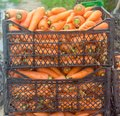 Freshly harvested carrots in boxes prepared for sale. Growing eco-friendly products in farm. Agriculture and farming. Seasonal Royalty Free Stock Photo