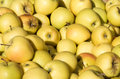 Freshly harvested Golden Delicious apples Royalty Free Stock Photo