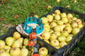 Freshly harvested pears crates fruit picker Royalty Free Stock Photography