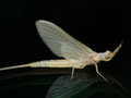 Freshly Molted Mayfly Closeup Side View Royalty Free Stock Photos