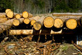 Freshly Peeled Logs Stock Photography