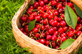 Freshly picked cherries in a basket Royalty Free Stock Photo