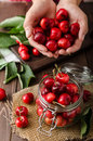 Freshly picked cherries Royalty Free Stock Photo