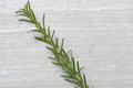 Freshly picked herb Rosemary