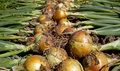 Freshly picked onions closeup of on ground in a garden Royalty Free Stock Images