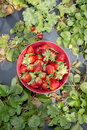 Freshly picked strawberries a bowl of resting on a crops row in a strawberry field Royalty Free Stock Photos