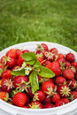 Freshly picked strawberries in bucket outside on green grass with copy space Stock Image