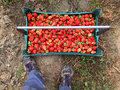 Freshly Picked Strawberries With Fruit Picker Royalty Free Stock Photo