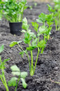 Freshly planted celery seedlings in the vegetable garden Royalty Free Stock Photo
