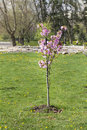 Freshly planted cherry tree in a spring garden