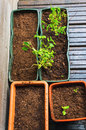 Freshly planted seeds and saplings in flowerpots Royalty Free Stock Images