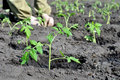 Freshly planted tomato seedlings in the vegetable garden Royalty Free Stock Photo