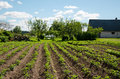 Freshly plowed furrows of young potatoe in garden Royalty Free Stock Photo