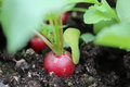 Freshly radish ready for harvesting Royalty Free Stock Photography