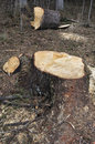Freshly sawed fir tree stump Royalty Free Stock Photo