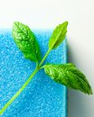 Freshness and purity blue sponge leaves of peppermint on white reflexive background Royalty Free Stock Image