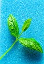 Freshness and purity leaves of peppermint on blue sponge Royalty Free Stock Image