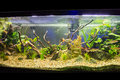 Freshwater aquarium a beautiful planted tropical Royalty Free Stock Photography