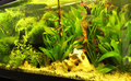 Freshwater aquarium detail Stock Photography