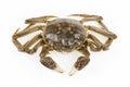 Freshwater crab isolated on white background Royalty Free Stock Photography