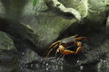 Freshwater crab near the water Royalty Free Stock Photography