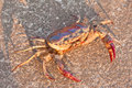 Freshwater crabs are walking on a cement floor. Royalty Free Stock Photography