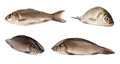 Freshwater fish Royalty Free Stock Photos