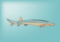 Freshwater fish a large sturgeon Royalty Free Stock Photo