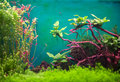 Freshwater green aquarium with plants and fishes Royalty Free Stock Image