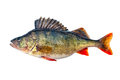 Freshwater perch Royalty Free Stock Photo