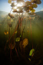 Freshwater Pond, Sunlight, and Lily Pads Royalty Free Stock Photo