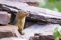 Frican rodent single african between rocks Stock Photography