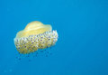 Fried egg jellyfish Stock Photo