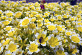 Fried egg plant yellow and white flowers limnanthes douglasii is commonly known as poached or Stock Photo