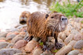 Friendly beavers Royalty Free Stock Photos