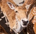 Friendly Deer Royalty Free Stock Photos