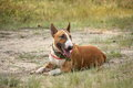 Friendly english bull terrier resting on the ground Stock Photography
