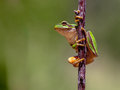 Friendly european tree frog hyla arborea climbing in a stick and preparing to jump Royalty Free Stock Photo