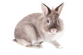 Friendly inquisitive grey bunny rabbit staring at the camera with a watchful eye sitting in profile against a white background Stock Photo