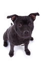 Friendly Pit bull dog Royalty Free Stock Image