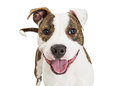 Friendly Pit Bull Dog Closeup Over White Royalty Free Stock Photo