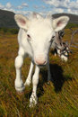 Friendly reindeer calf in scotland white the cairngorm mountains Royalty Free Stock Images