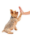 Friendly Yorkshire Terrier Puppy Extending Paw To Shake Royalty Free Stock Photo