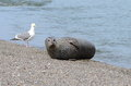 Friends at the beach harbor seal and seagull enjoying a nice day Stock Photography